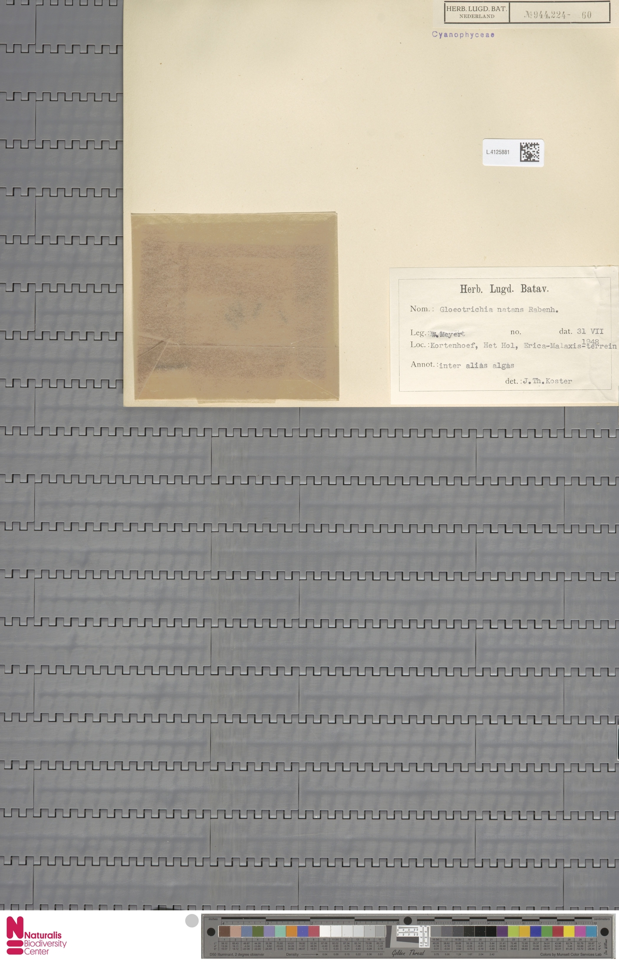 L.4125881   Gloeotrichia natans (Hedw.) Rabenh. ex Bornet & Flahault