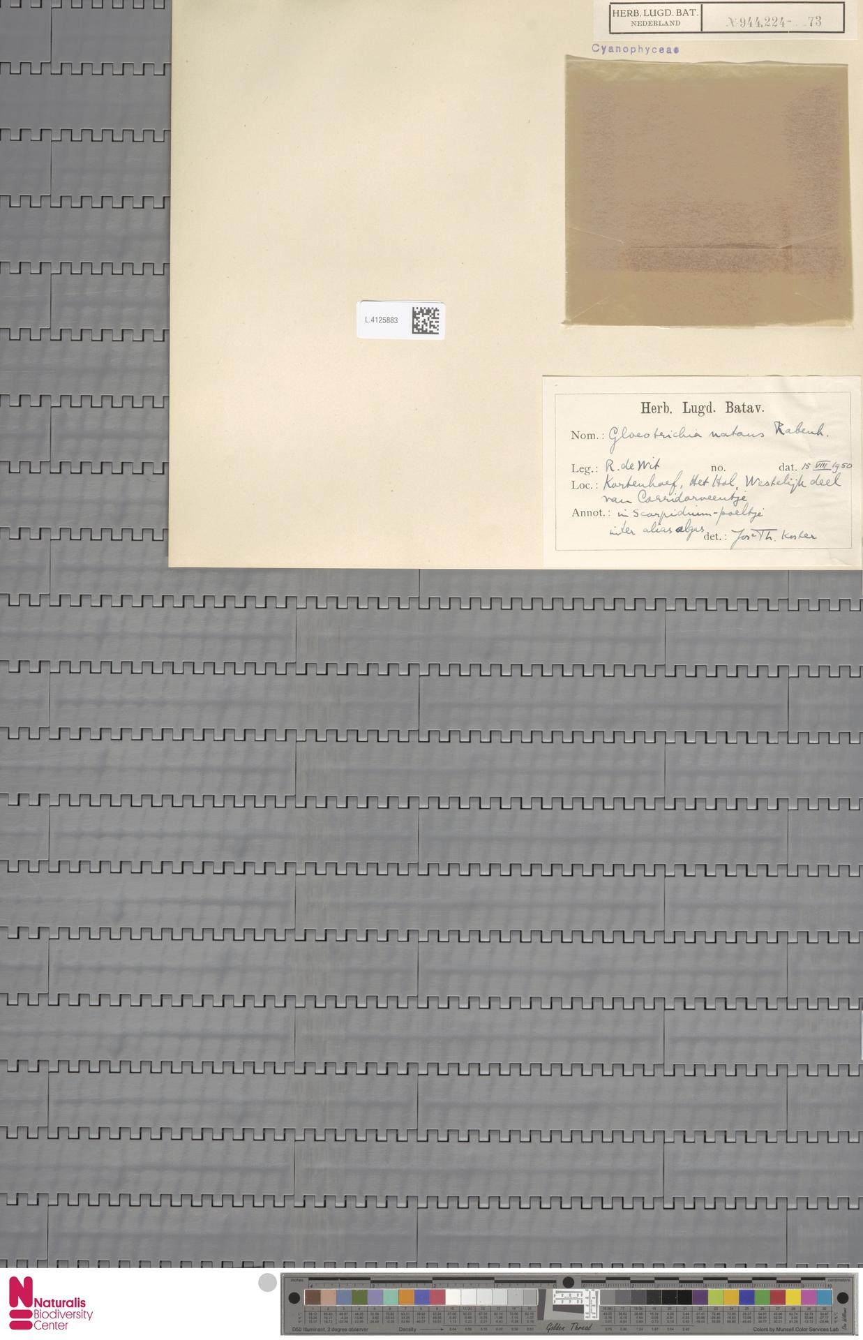 L.4125883 | Gloeotrichia natans (Hedw.) Rabenh. ex Bornet & Flahault