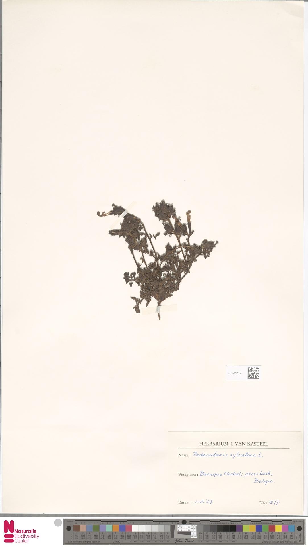 L.4134517 | Pedicularis sylvatica L.