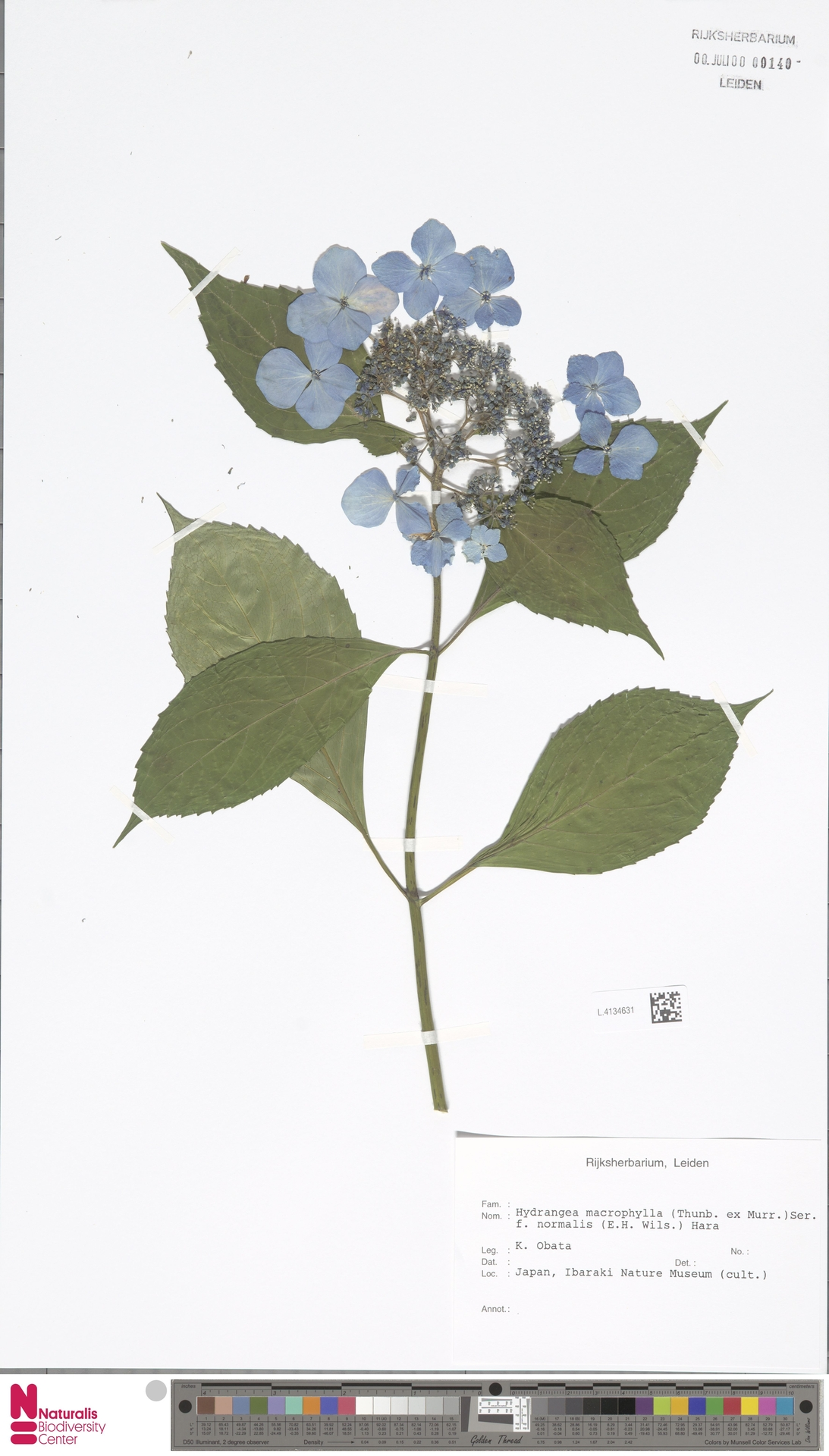 L.4134631   Hydrangea macrophylla f. normalis