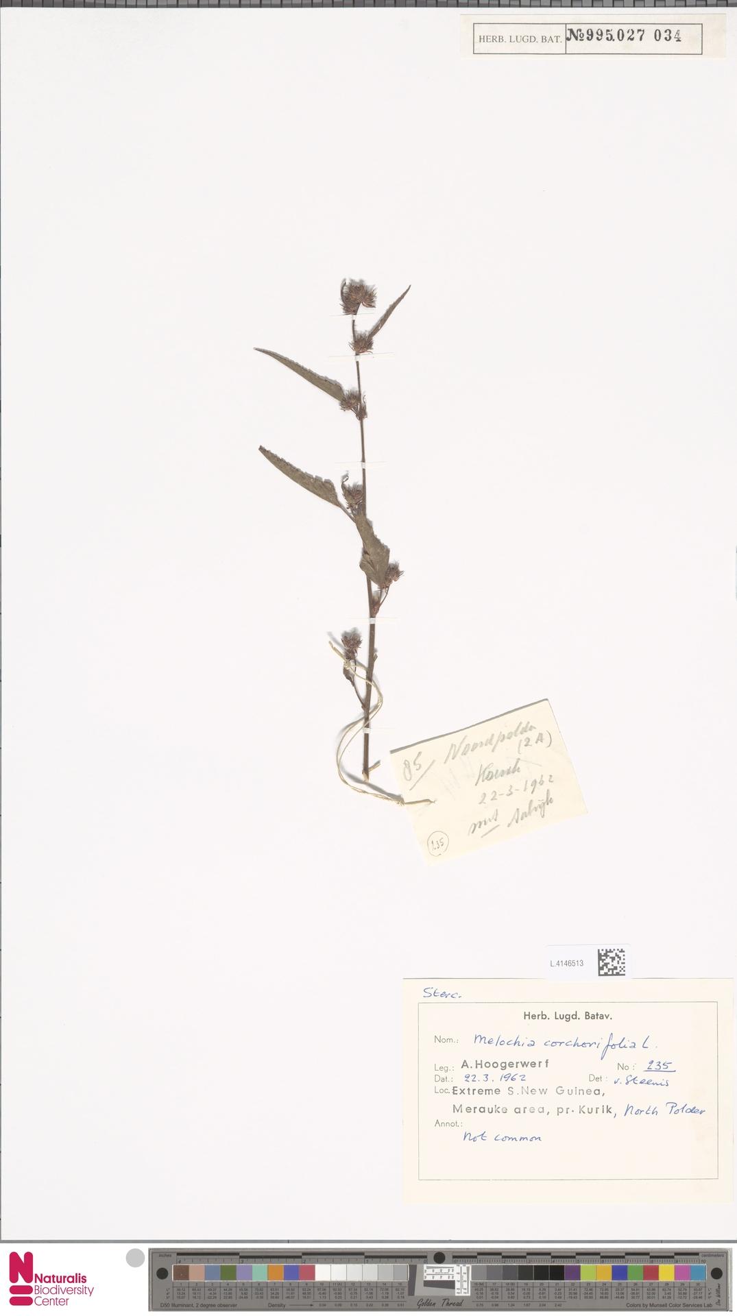 L.4146513 | Melochia corchorifolia L.
