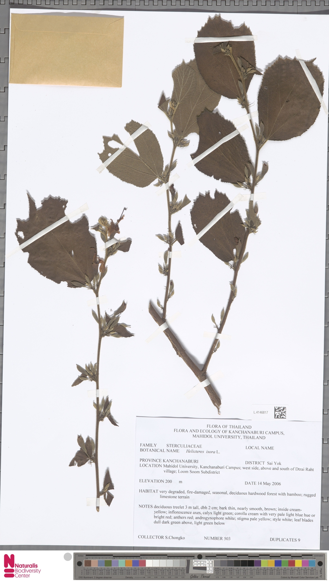 L.4146817 | Helicteres isora L.