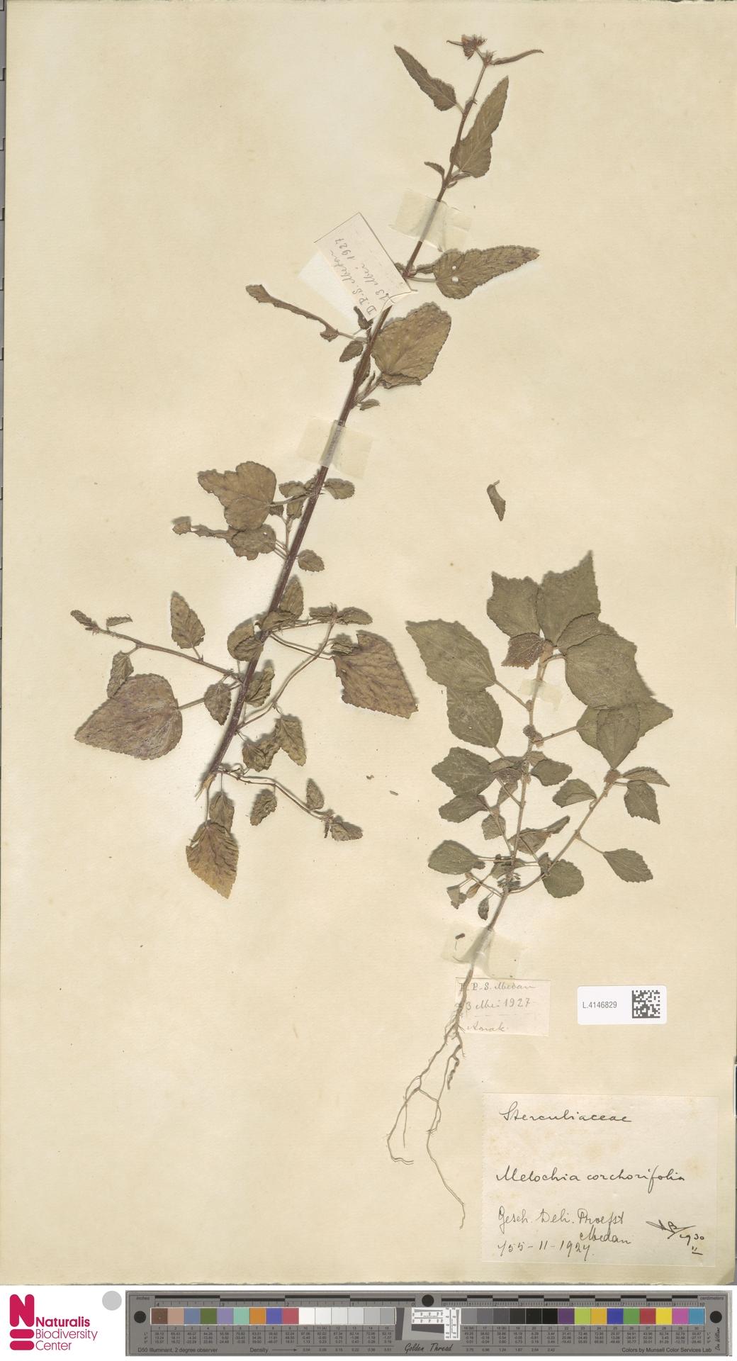 L.4146829 | Melochia corchorifolia L.