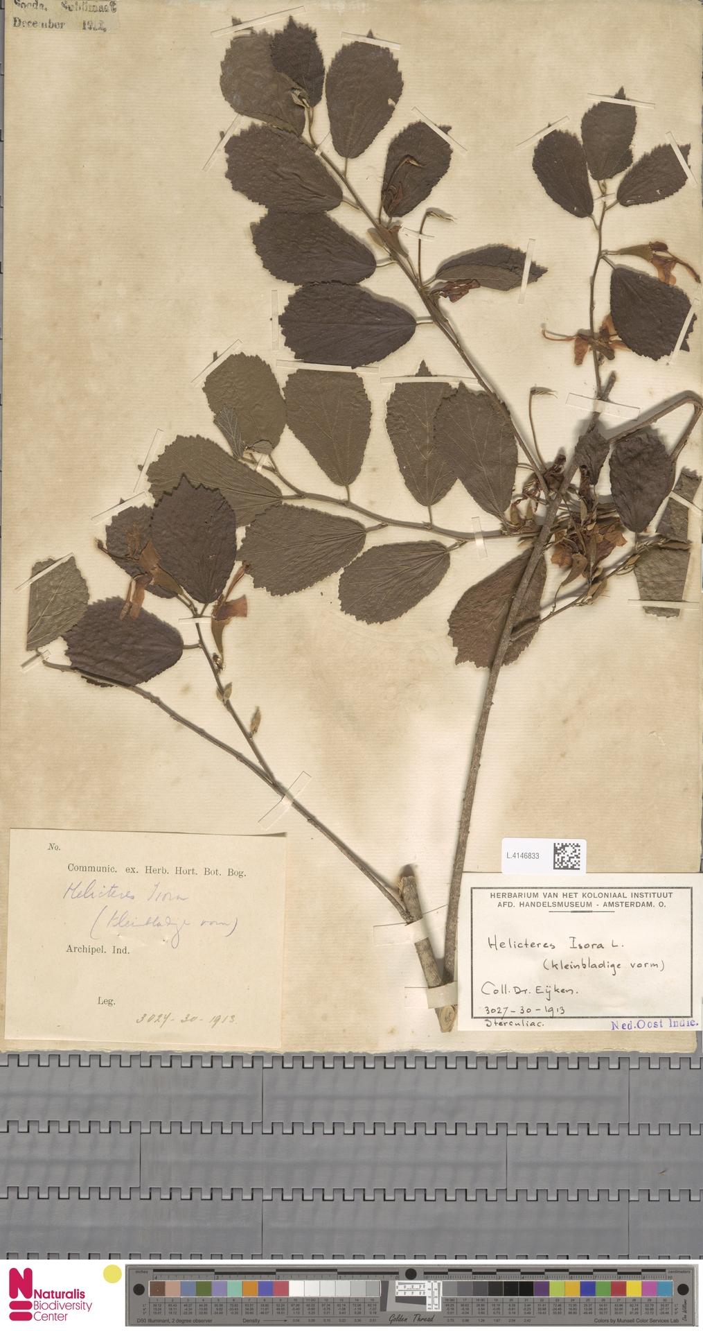 L.4146833 | Helicteres isora L.