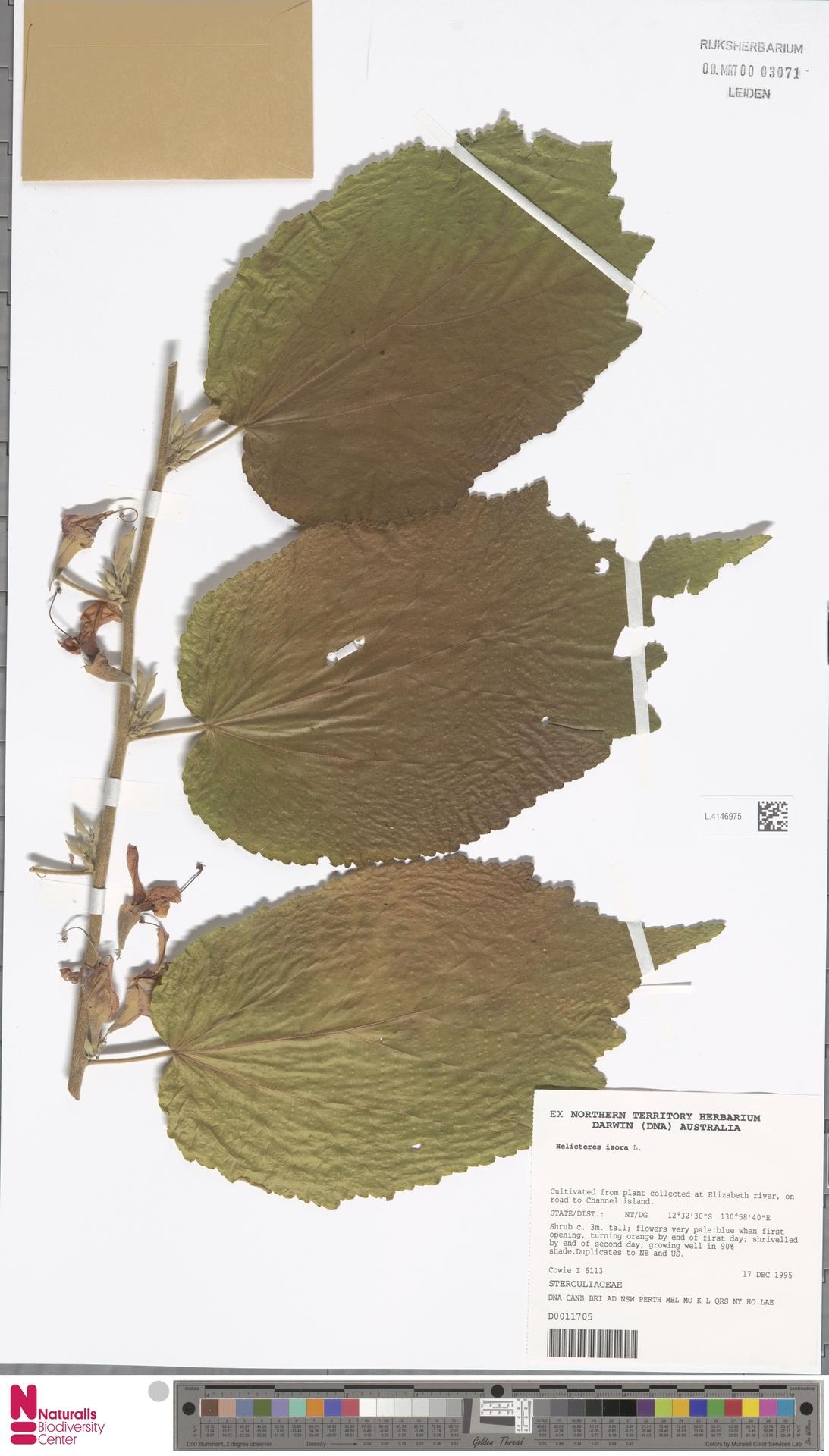 L.4146975   Helicteres isora L.