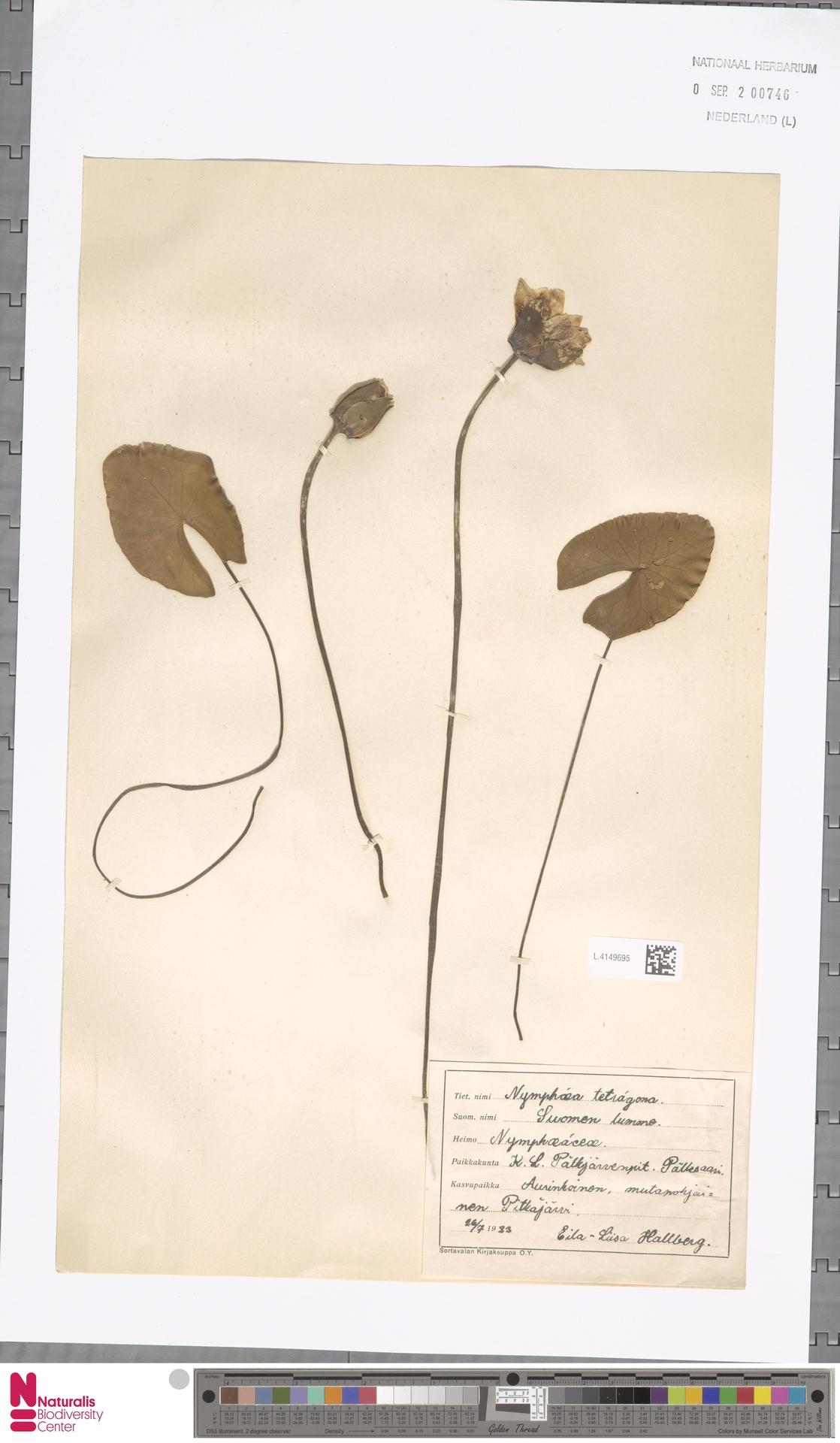 L.4149695 | Nymphaea tetragona Georgi