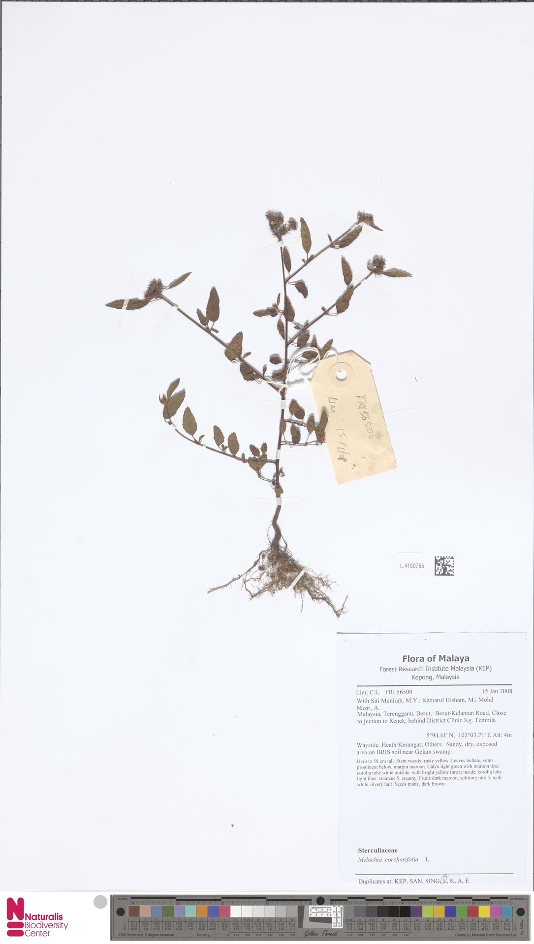 L.4150755 | Melochia corchorifolia L.