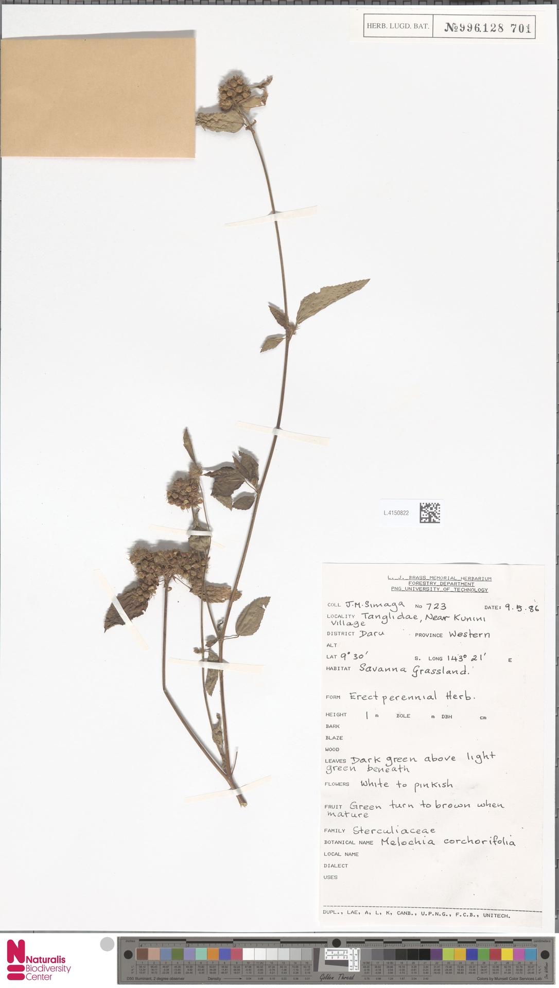 L.4150822   Melochia corchorifolia L.