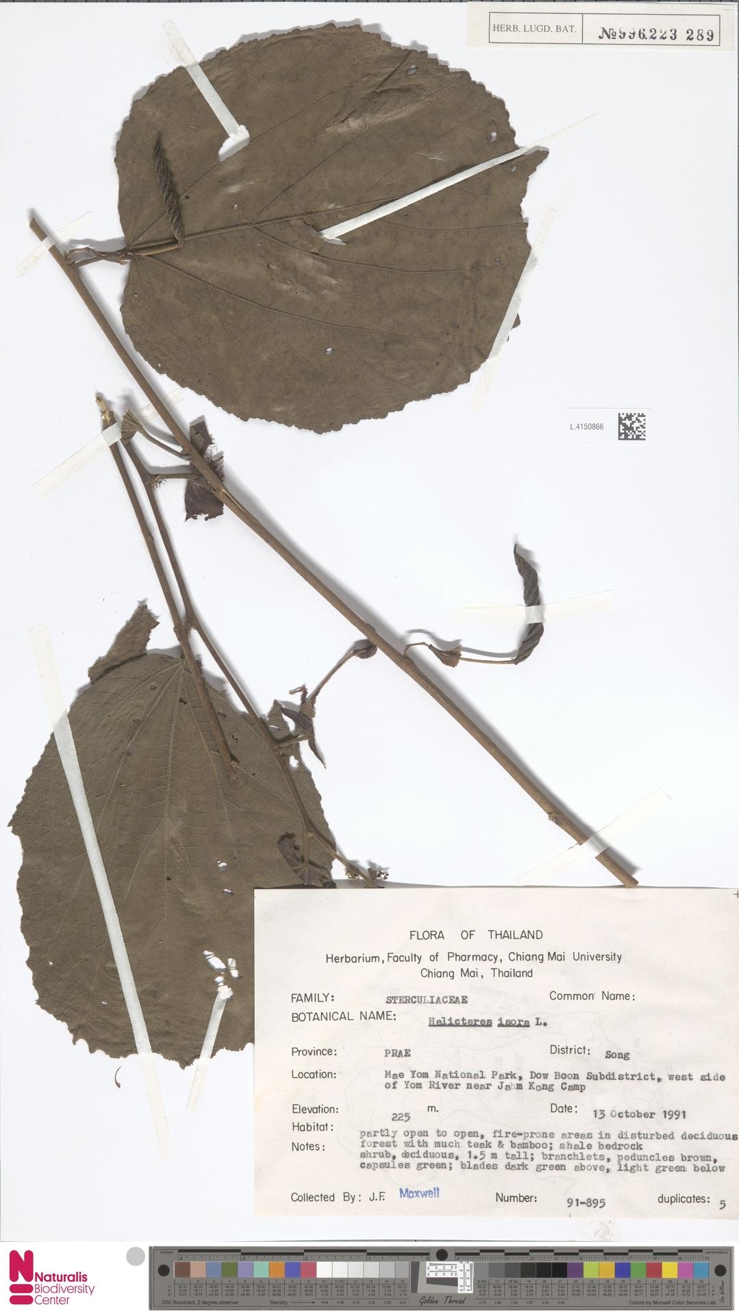 L.4150866 | Helicteres isora L.