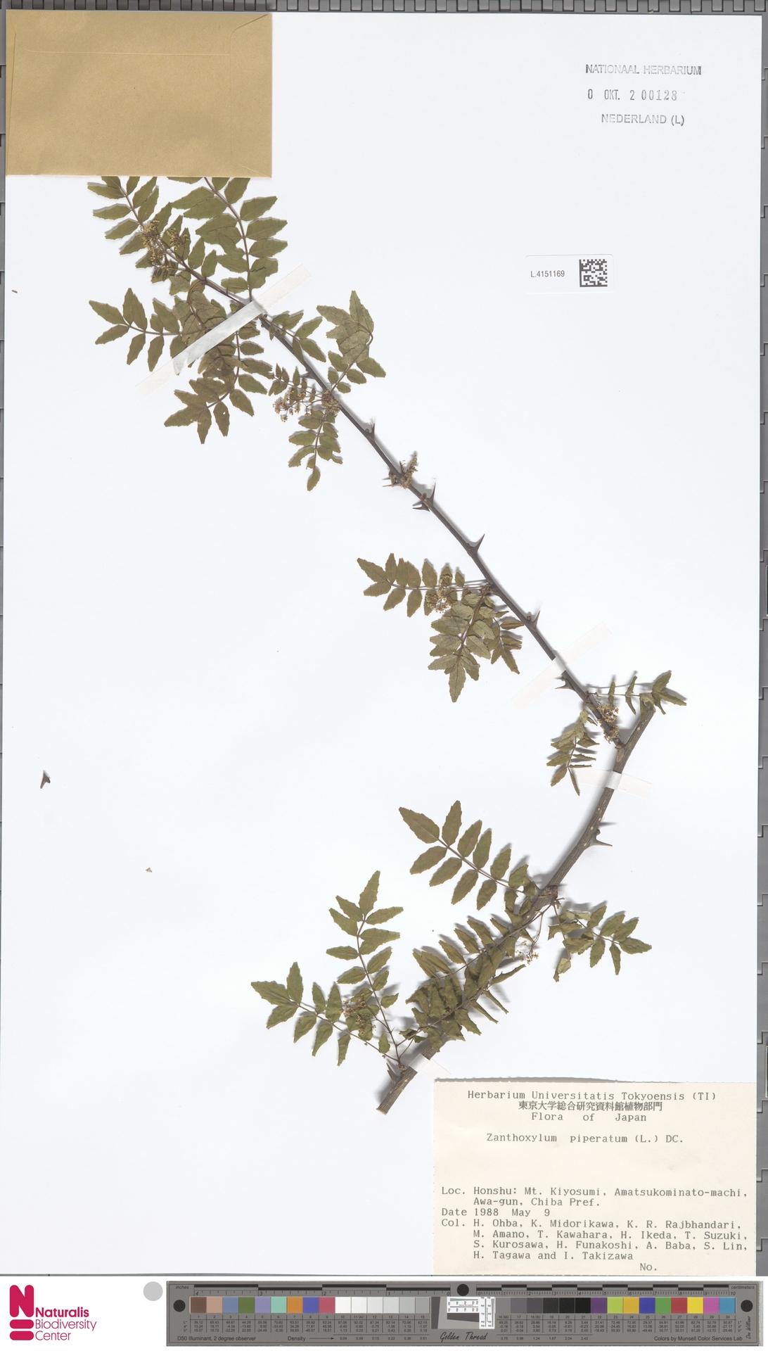 L.4151169 | Zanthoxylum piperitum DC.