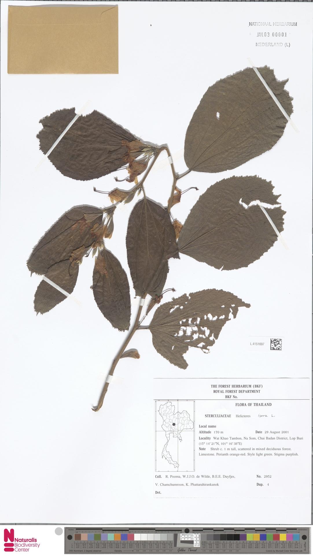 L.4151697 | Helicteres isora L.