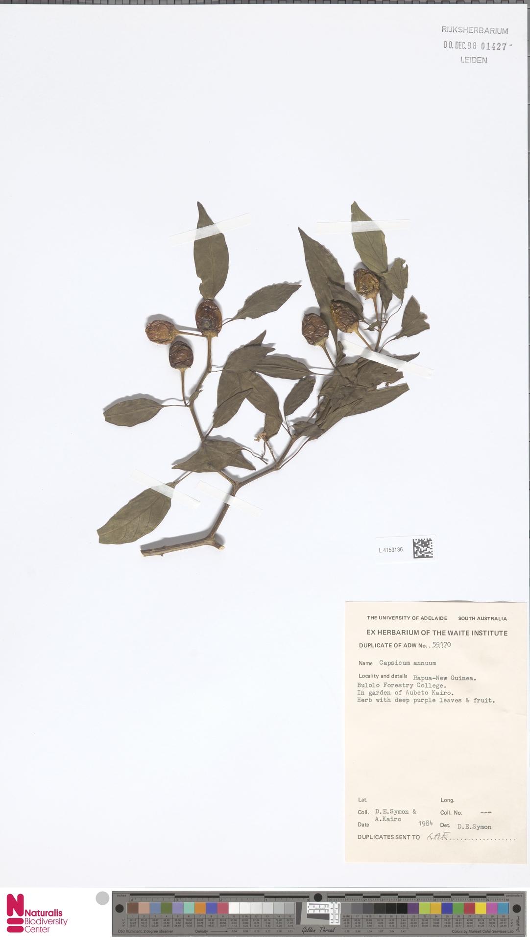 L.4153136 | Capsicum annuum L.