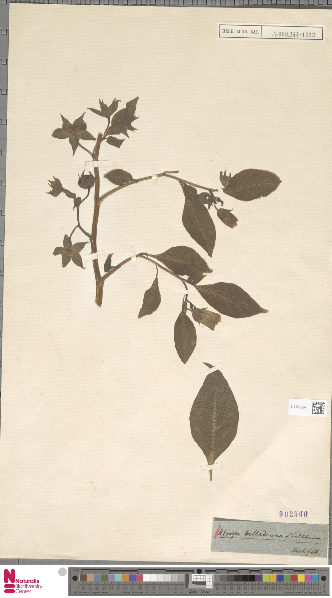 L.4153304 | Atropa belladonna L.