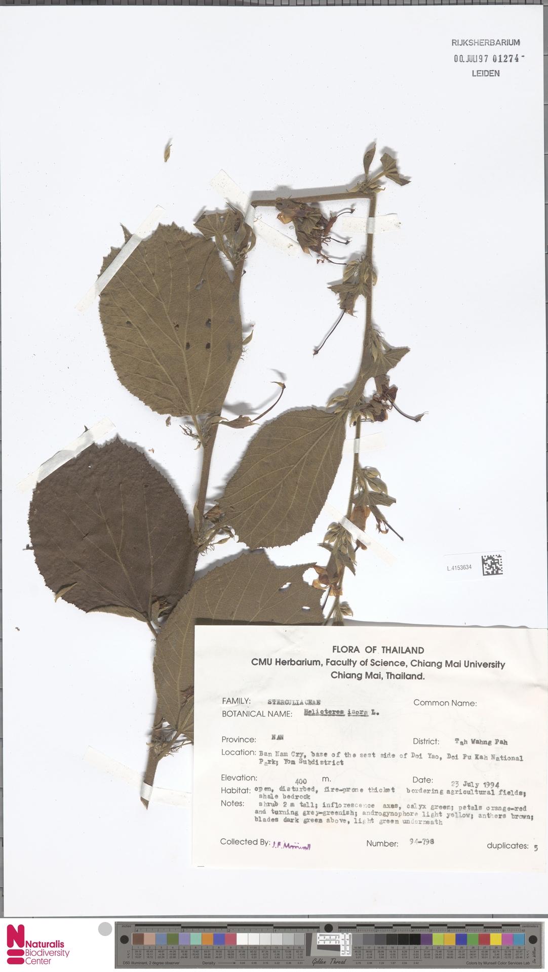 L.4153634 | Helicteres isora L.