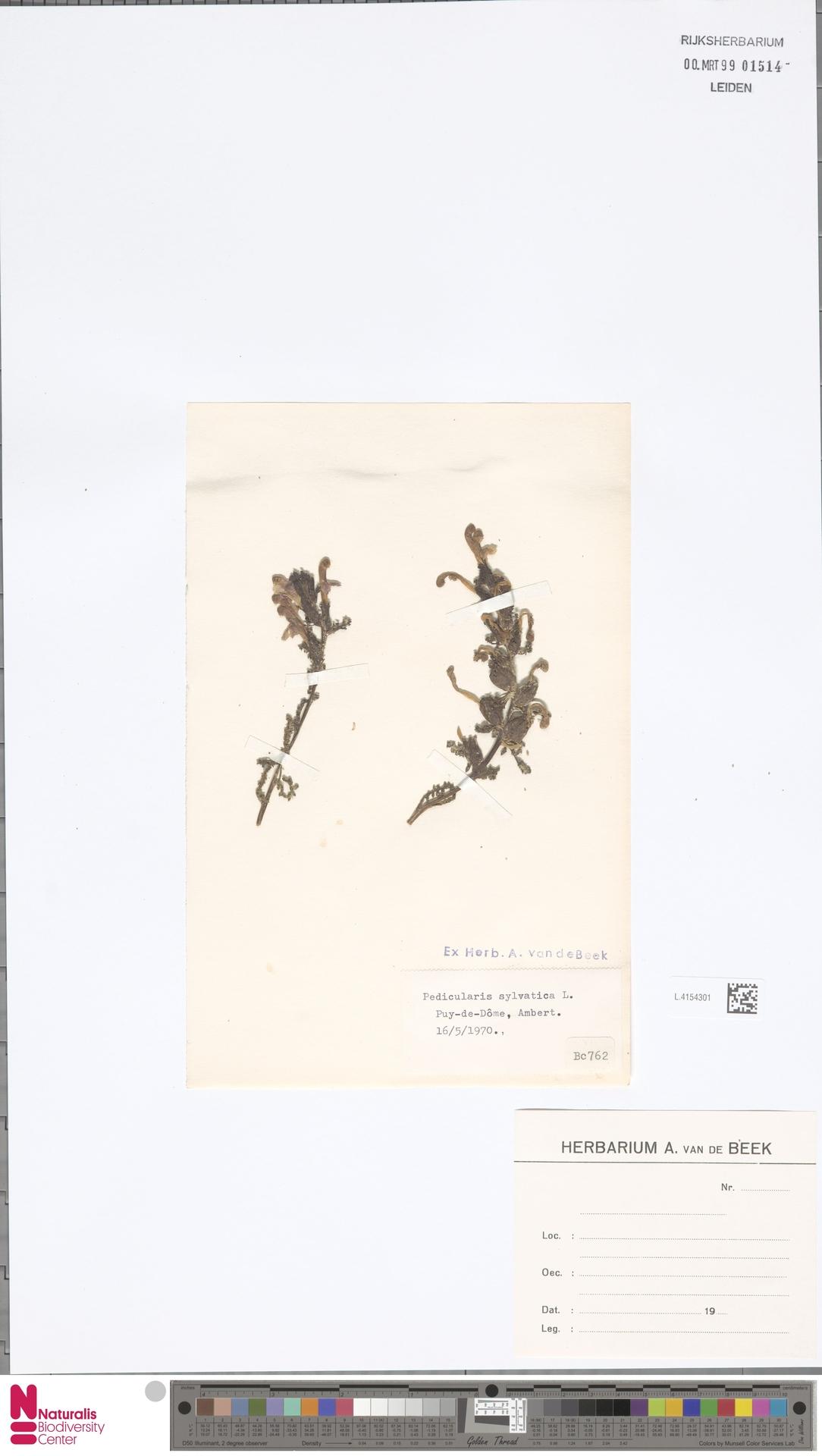 L.4154301 | Pedicularis sylvatica L.