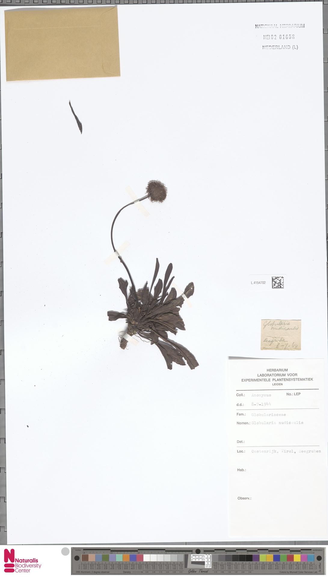 L.4154702 | Globularia nudicaulis L.