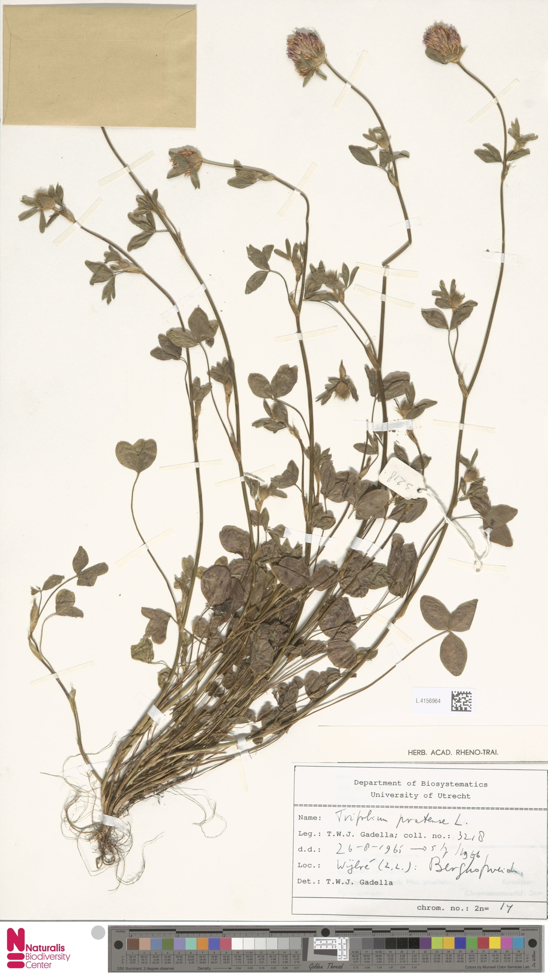 L.4156964 | Trifolium pratense L.