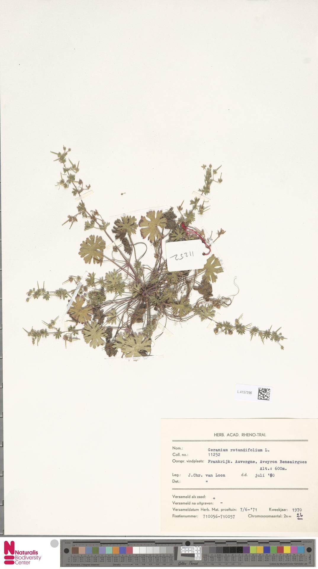 L.4157296 | Geranium rotundifolium L.