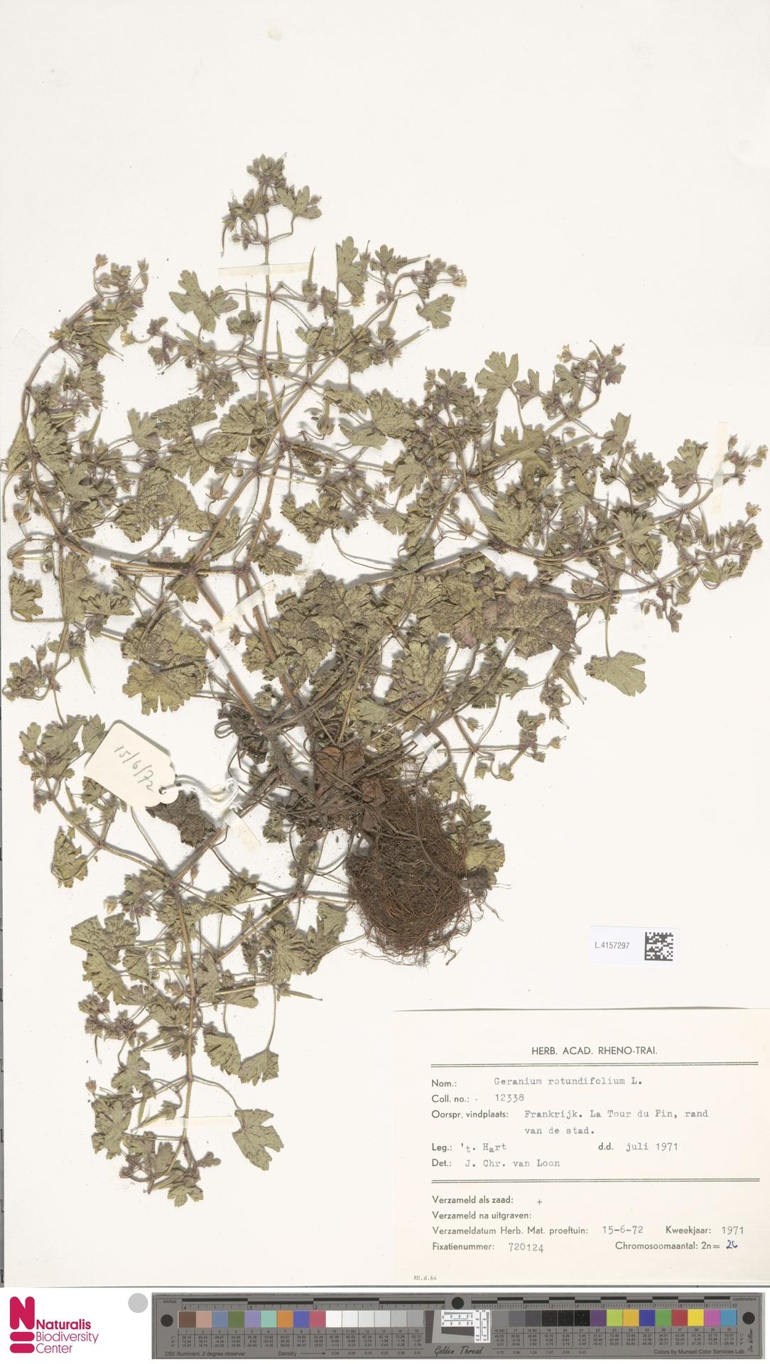 L.4157297 | Geranium rotundifolium L.