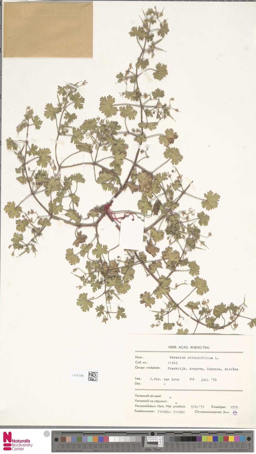 L.4157298 | Geranium rotundifolium L.