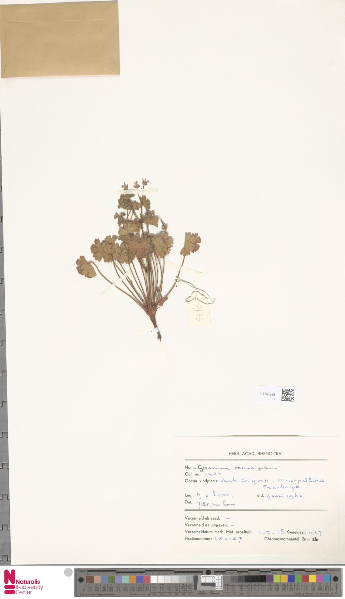 L.4157299   Geranium rotundifolium L.