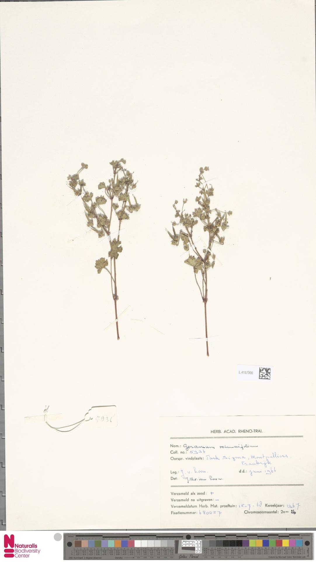L.4157300 | Geranium rotundifolium L.