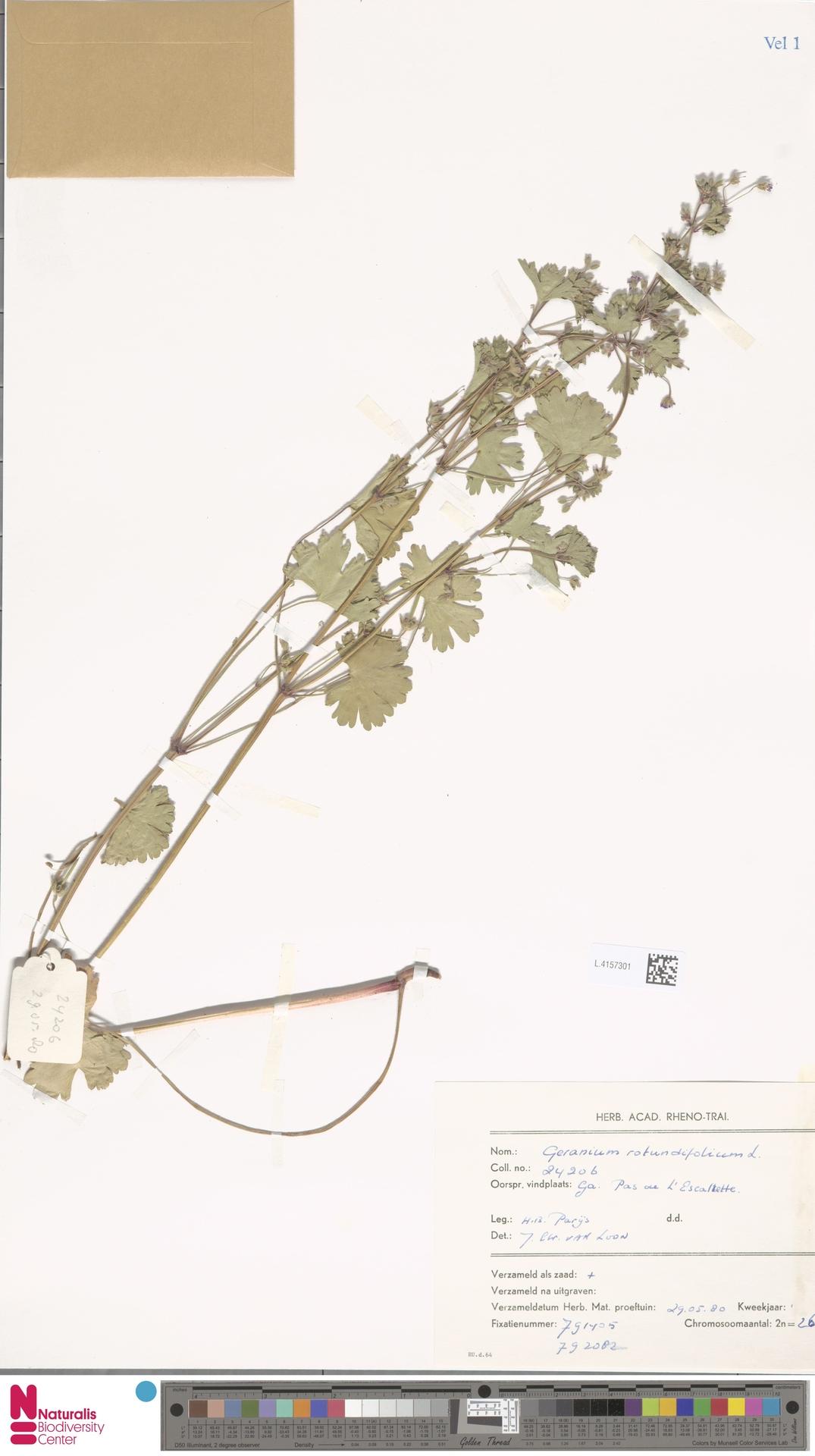 L.4157301 | Geranium rotundifolium L.