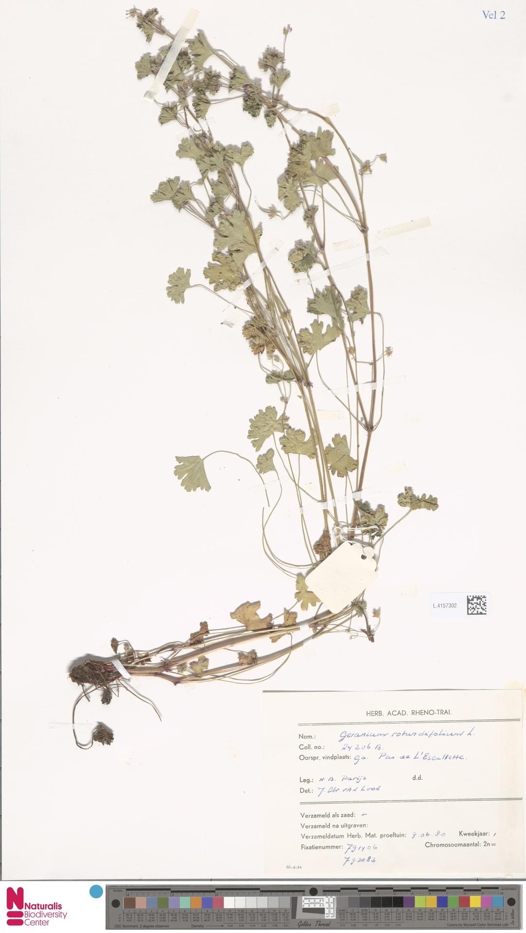 L.4157302   Geranium rotundifolium L.
