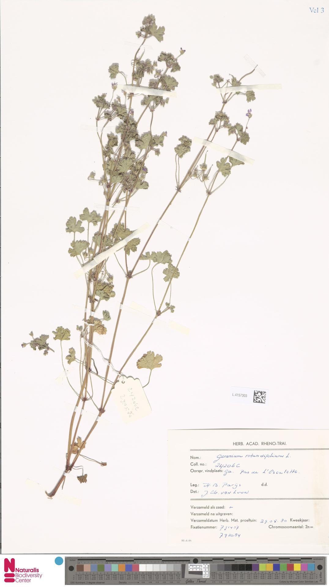 L.4157303 | Geranium rotundifolium L.