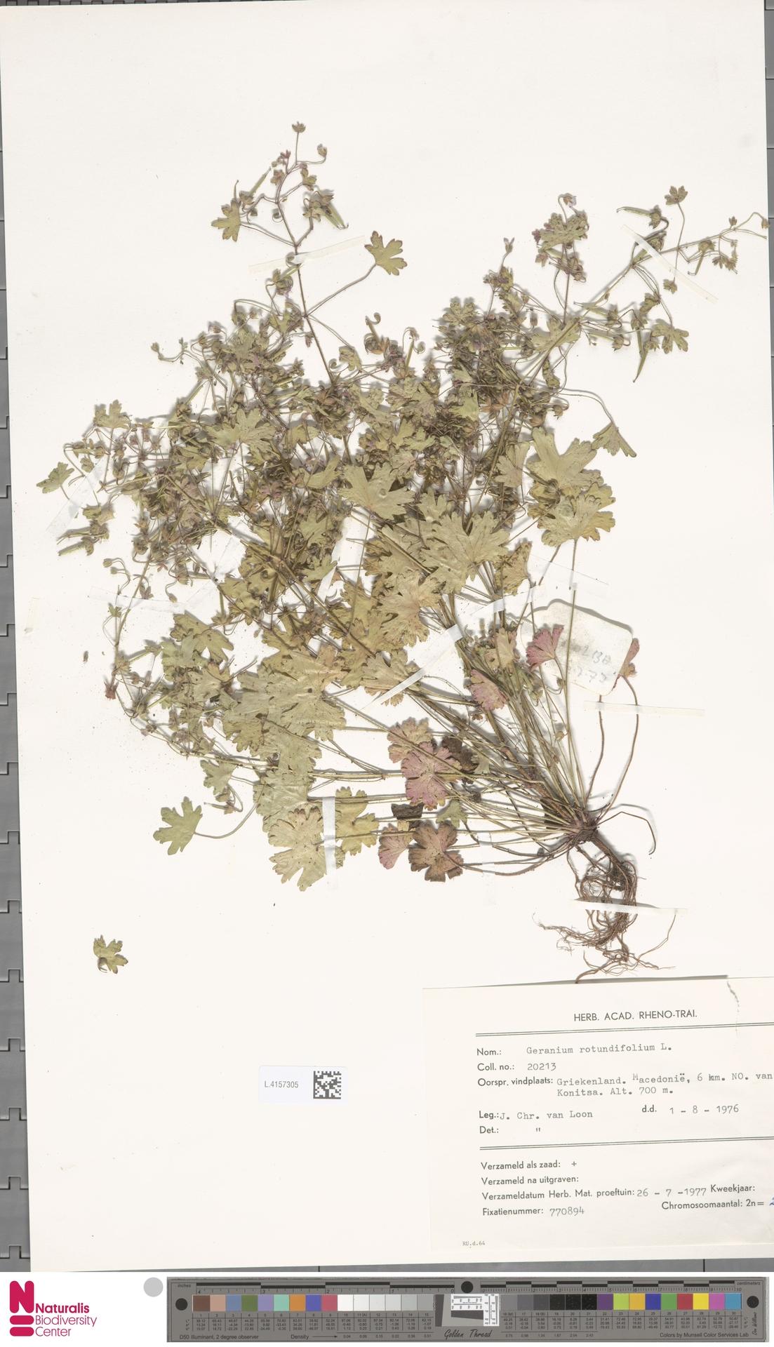 L.4157305 | Geranium rotundifolium L.