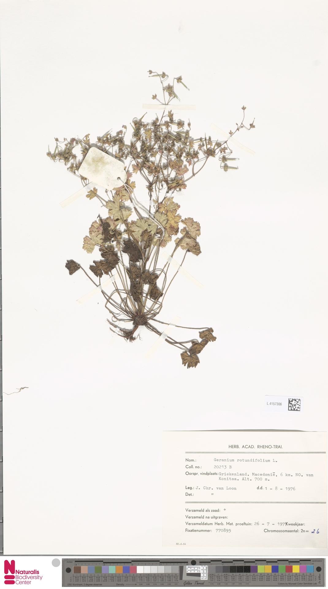 L.4157306   Geranium rotundifolium L.