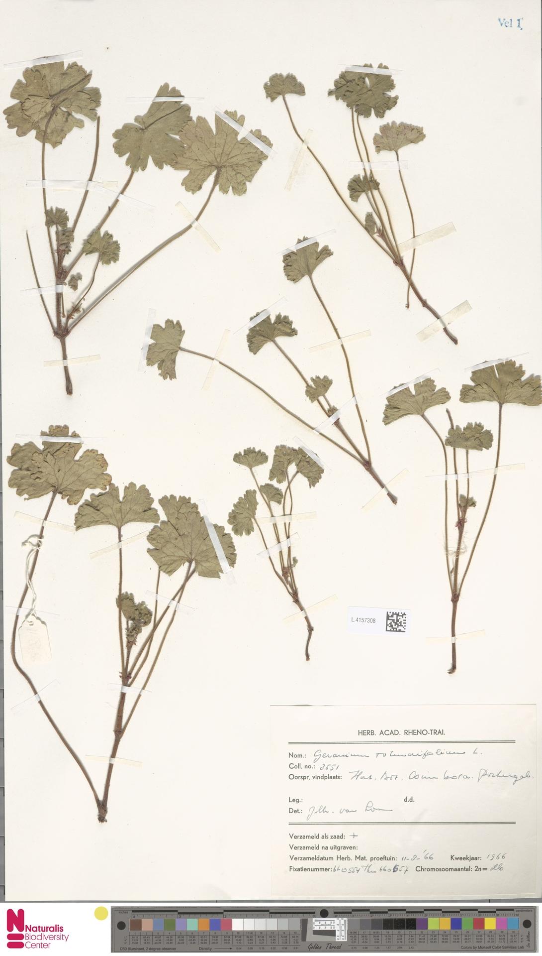 L.4157308 | Geranium rotundifolium L.