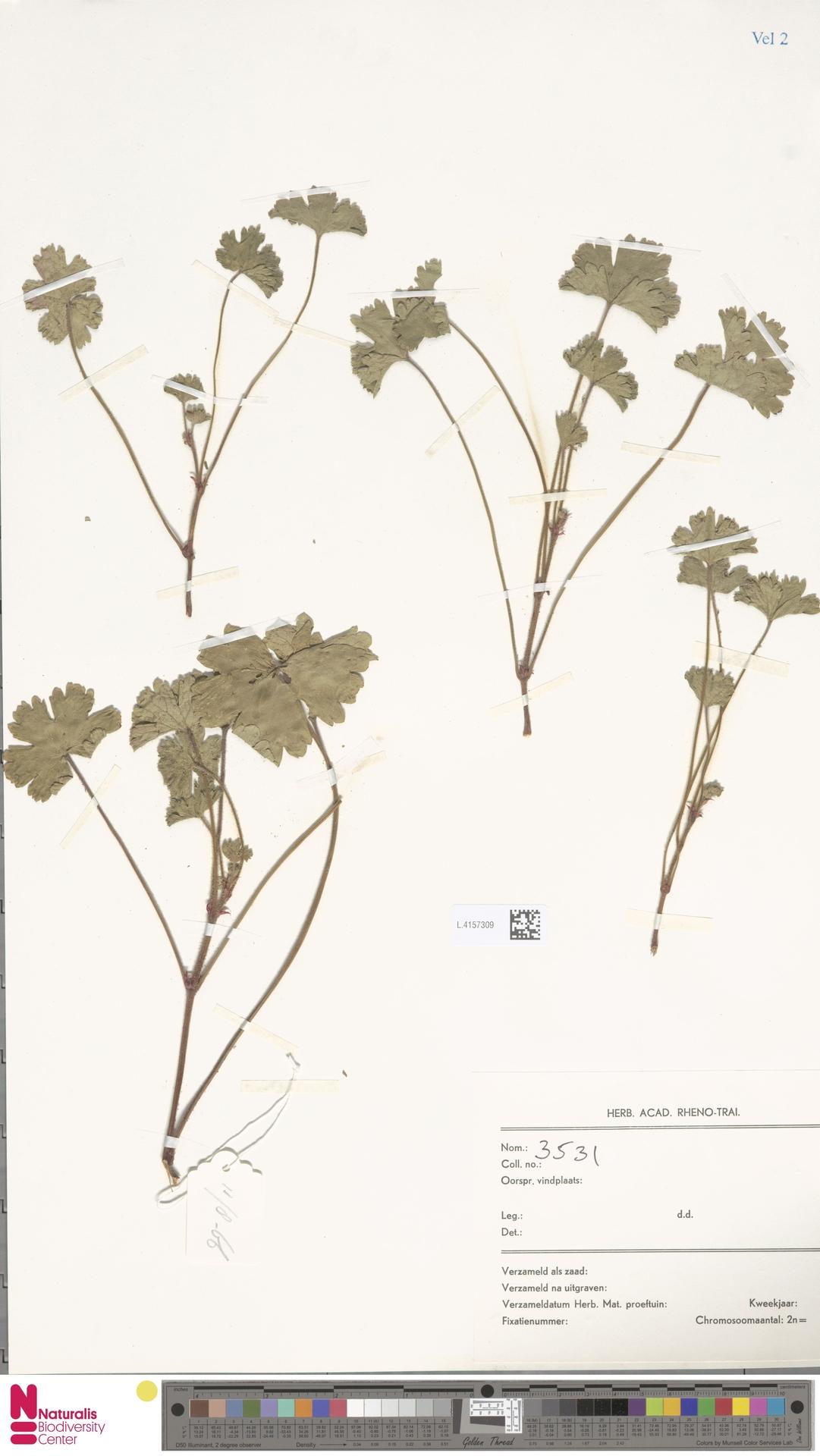 L.4157309 | Geranium rotundifolium L.