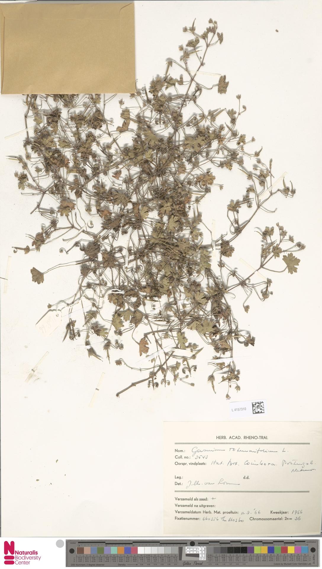L.4157310 | Geranium rotundifolium L.