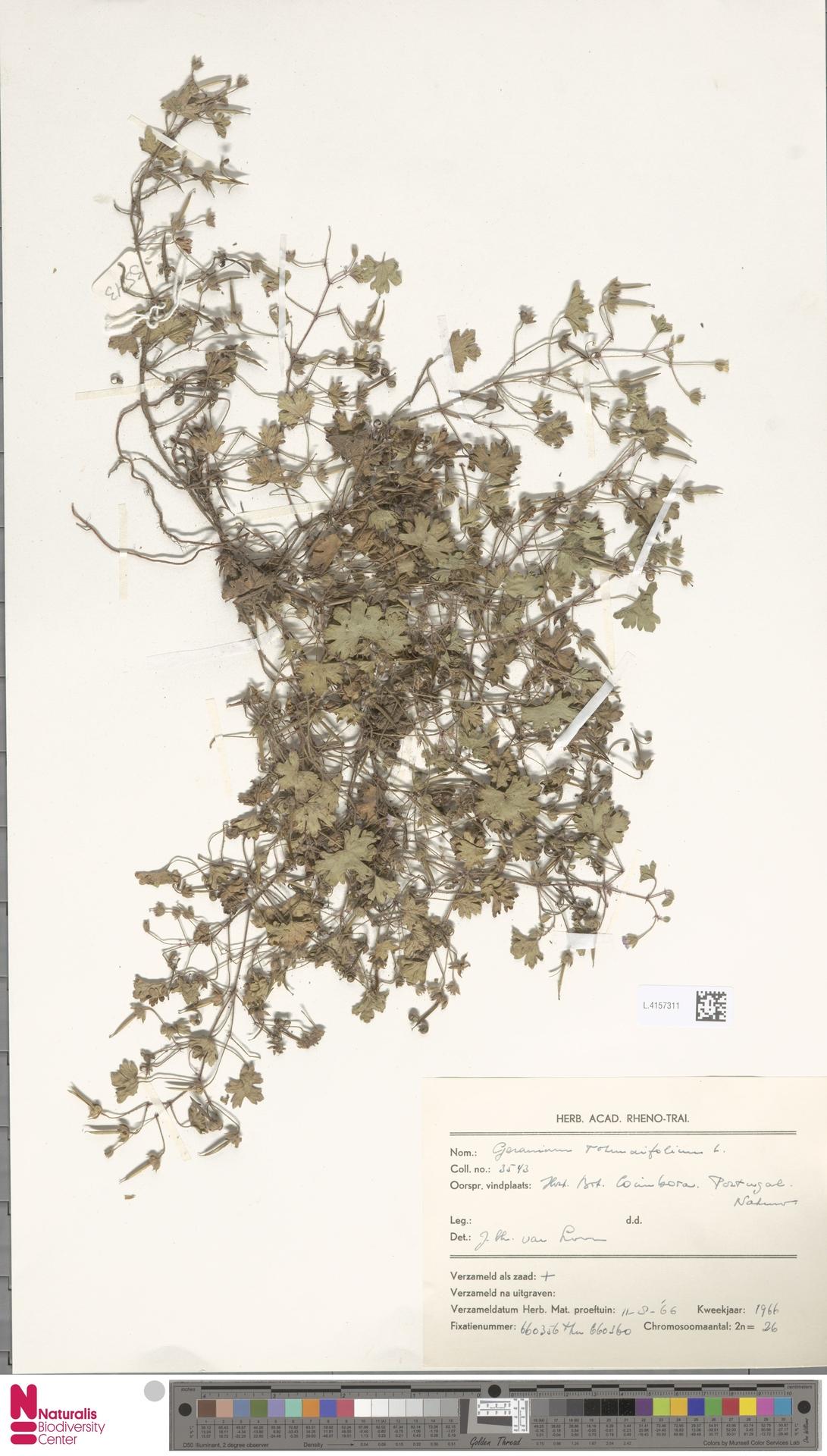 L.4157311 | Geranium rotundifolium L.