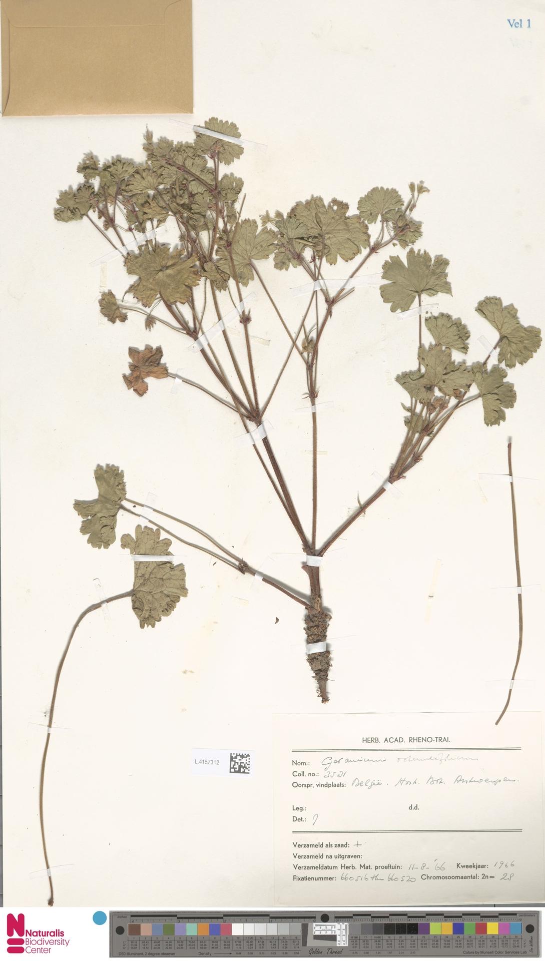 L.4157312 | Geranium rotundifolium L.