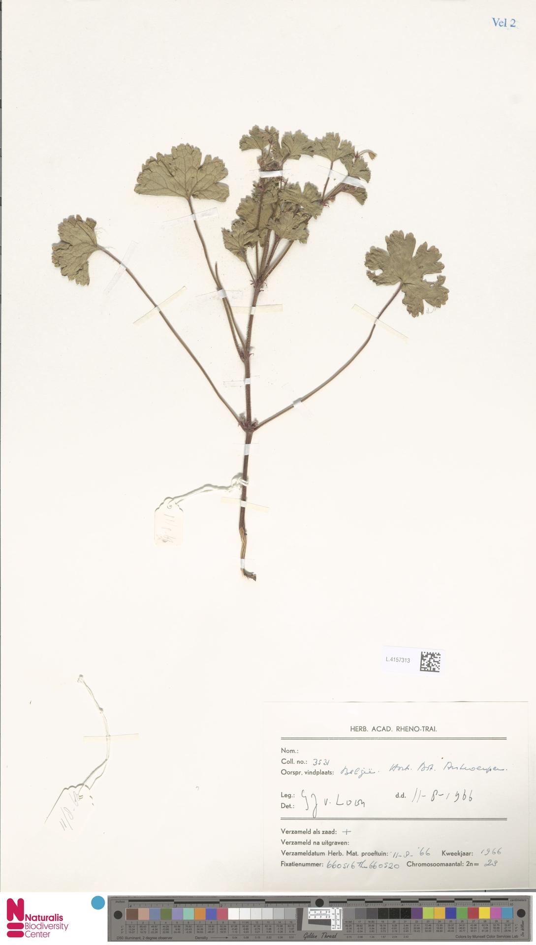 L.4157313   Geranium rotundifolium L.