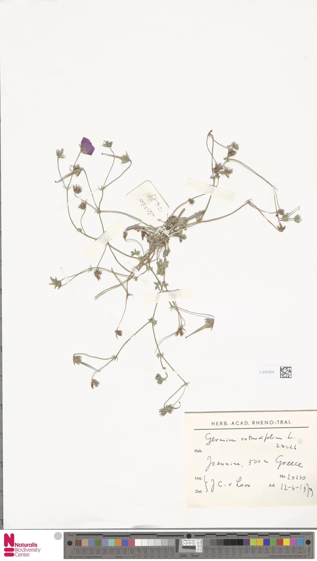 L.4157314 | Geranium rotundifolium L.