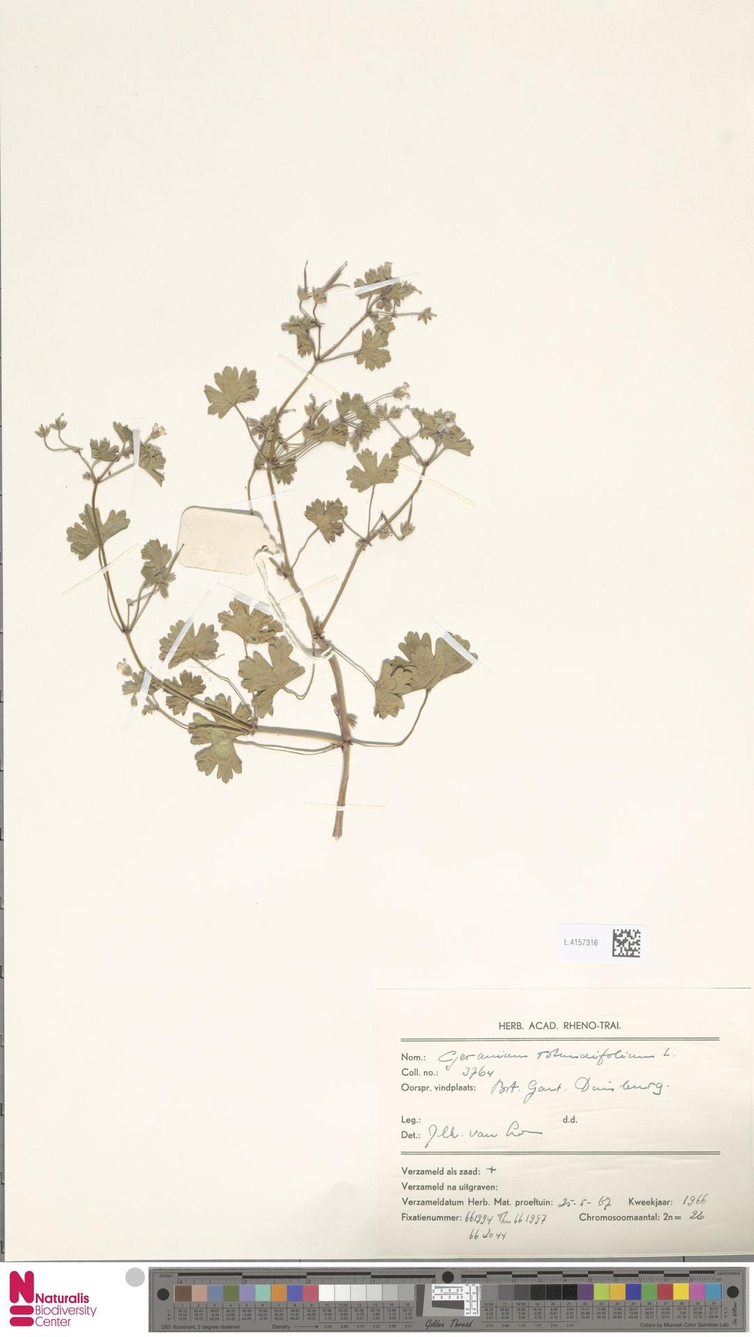 L.4157316   Geranium rotundifolium L.
