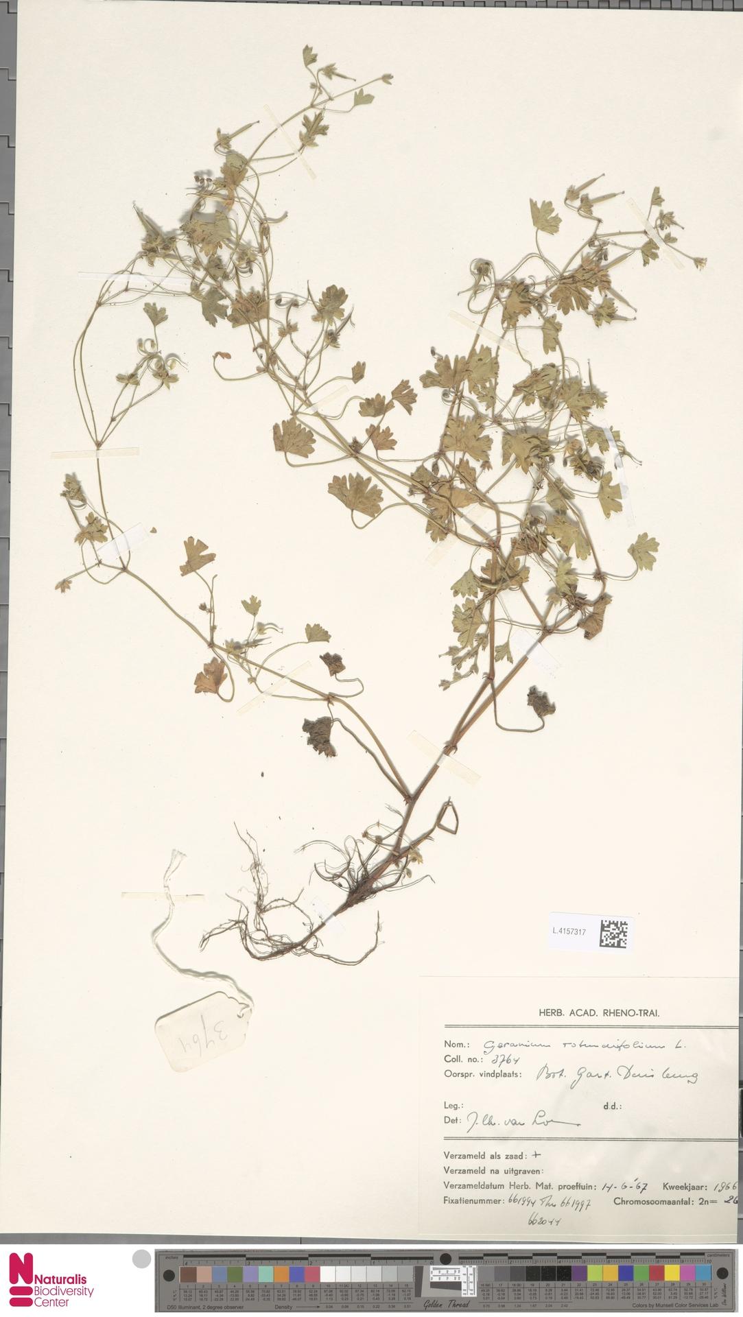 L.4157317   Geranium rotundifolium L.