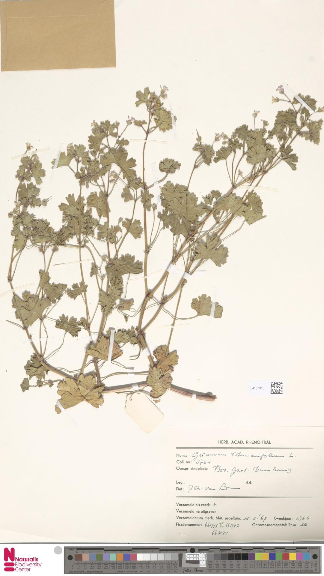 L.4157318 | Geranium rotundifolium L.