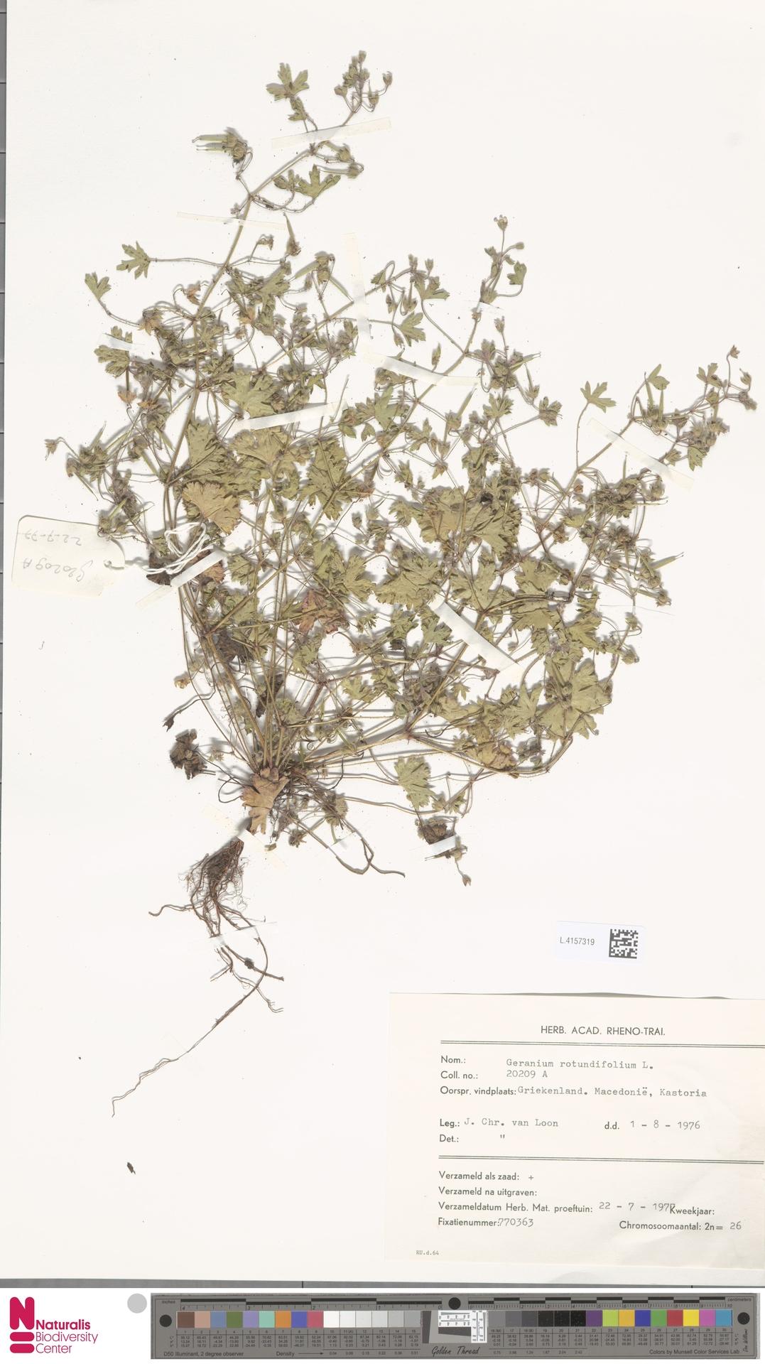 L.4157319 | Geranium rotundifolium L.