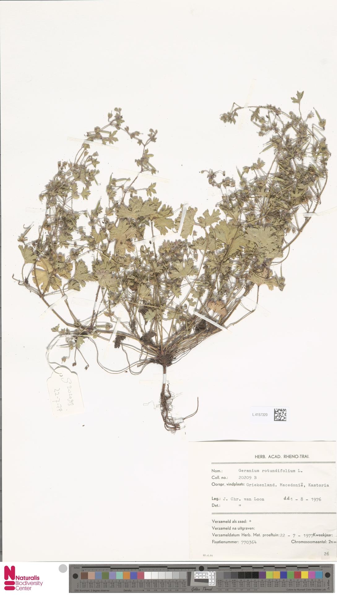 L.4157320 | Geranium rotundifolium L.