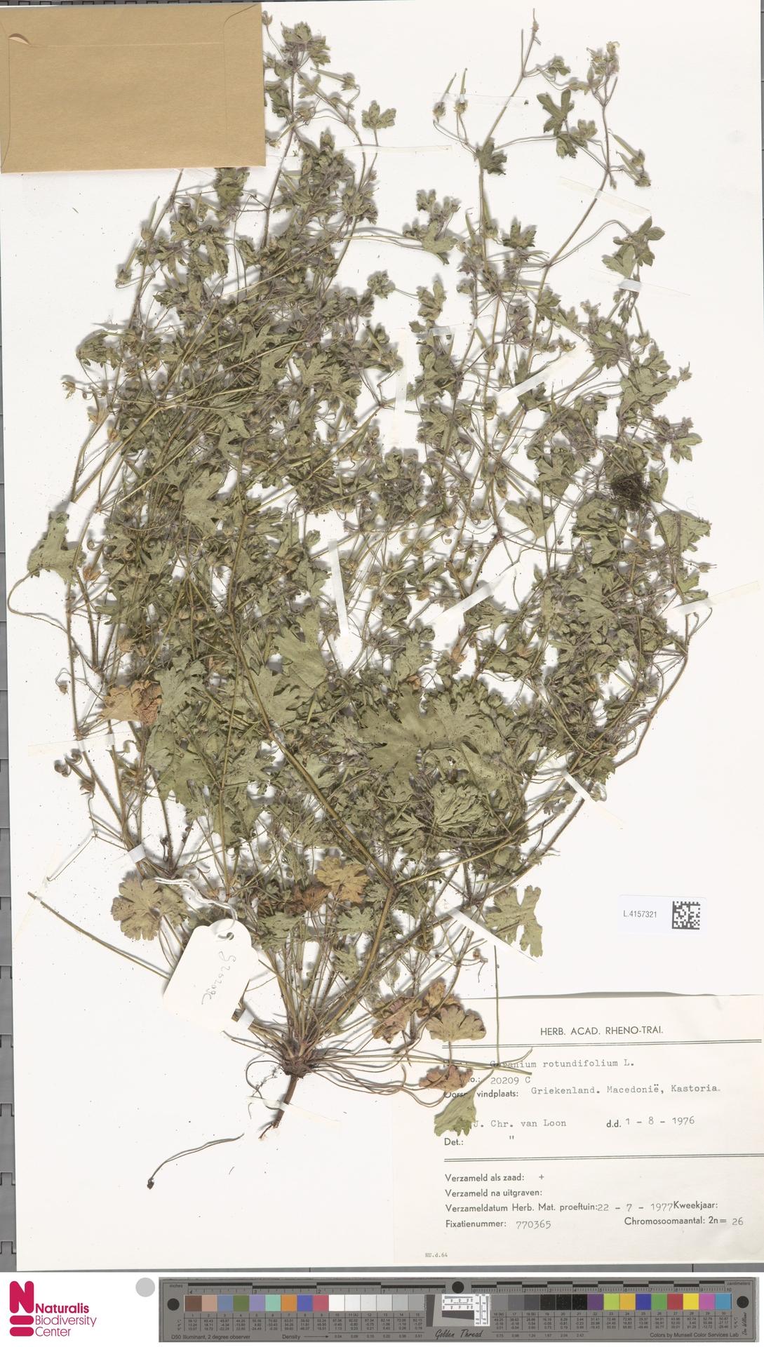 L.4157321 | Geranium rotundifolium L.