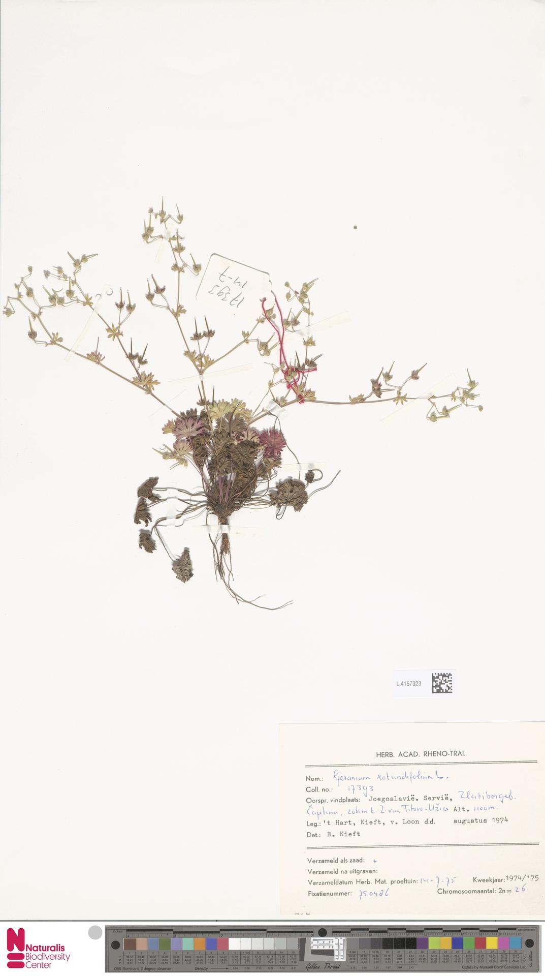 L.4157323   Geranium rotundifolium L.