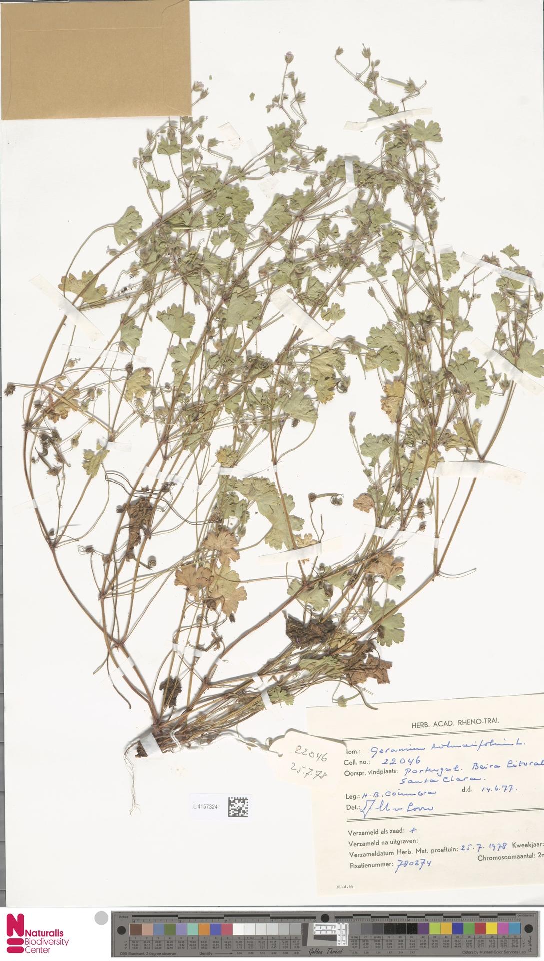 L.4157324 | Geranium rotundifolium L.