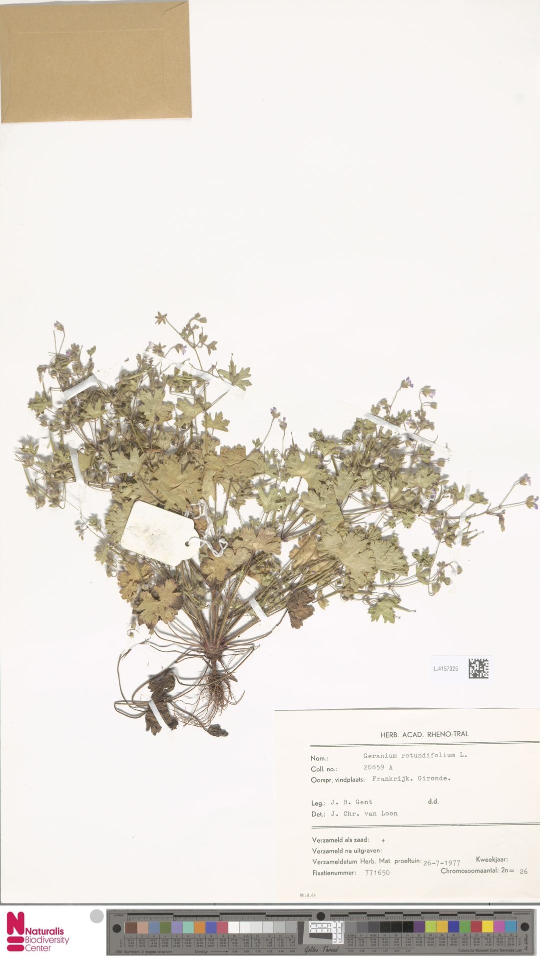 L.4157325 | Geranium rotundifolium L.