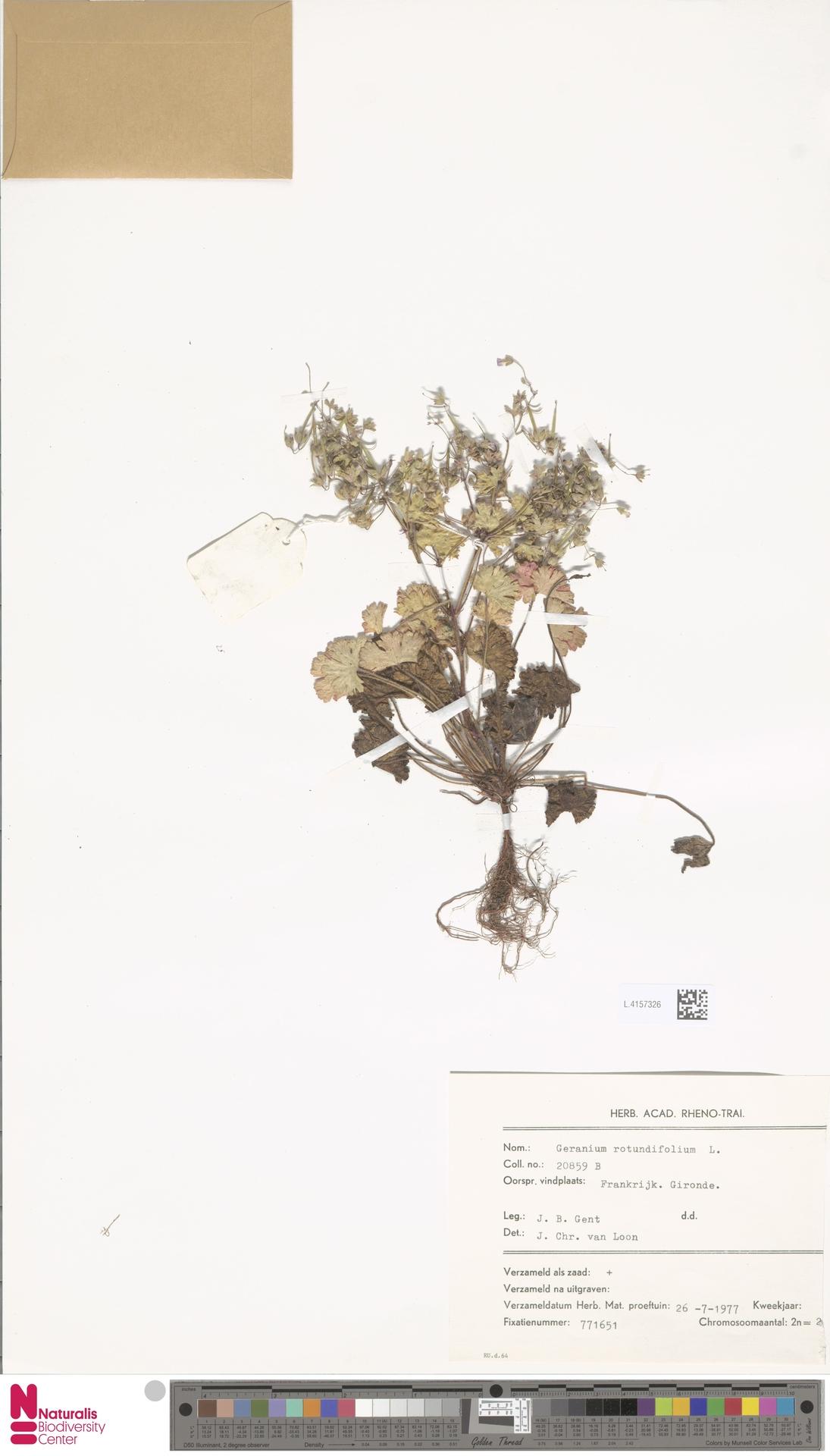 L.4157326 | Geranium rotundifolium L.
