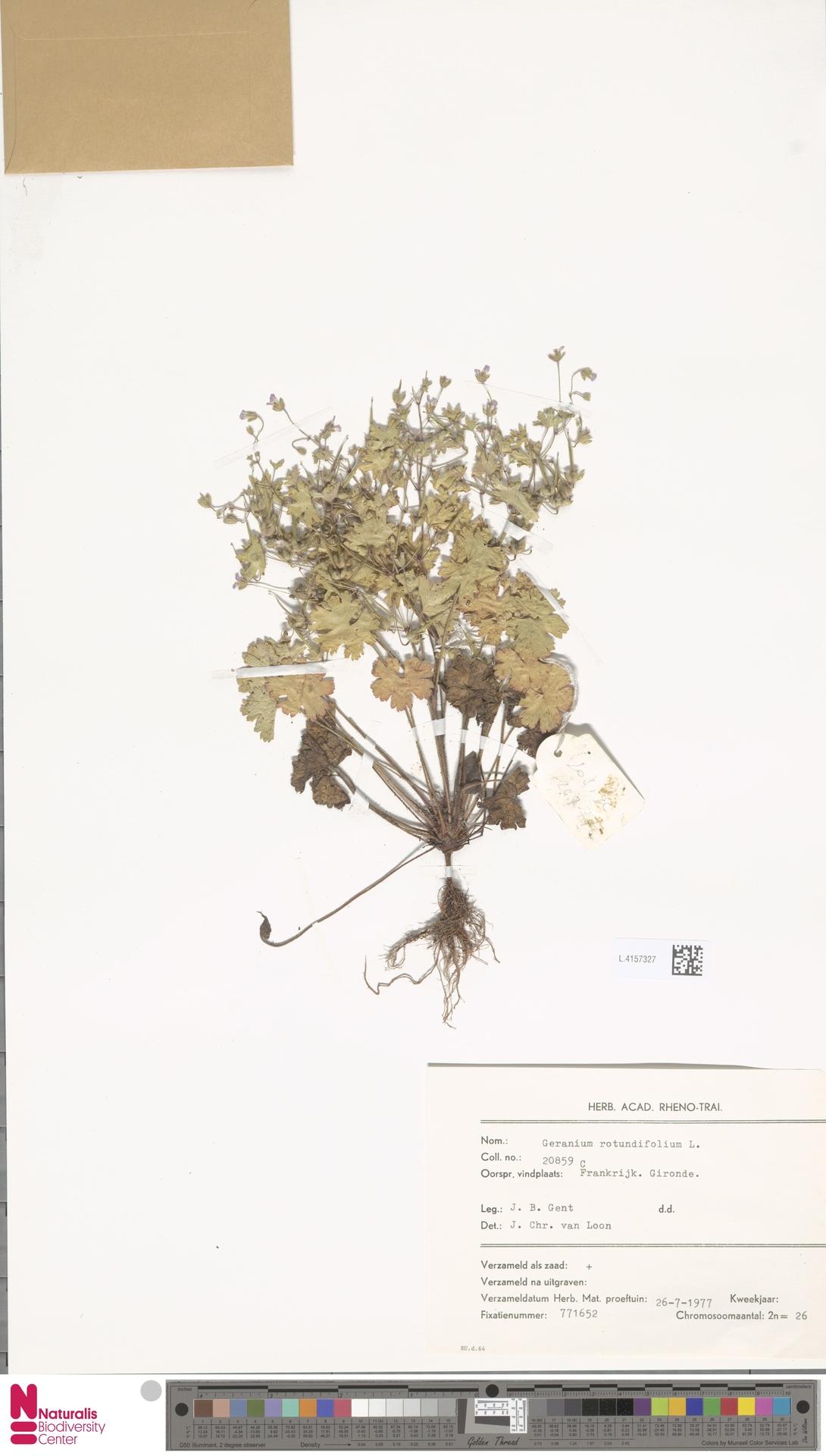 L.4157327 | Geranium rotundifolium L.