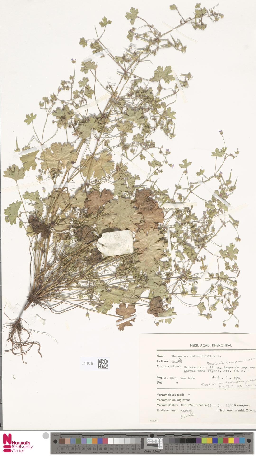 L.4157328 | Geranium rotundifolium L.